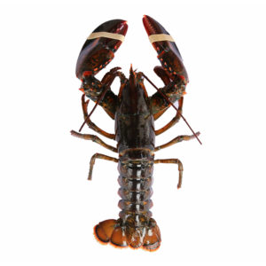 Live Boston/Canadian Lobster