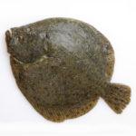 buy live turbot fish